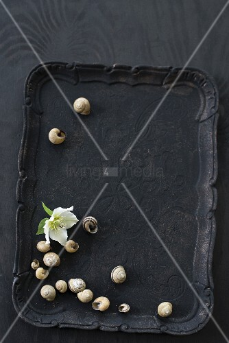 White hellebore flower and snail shells on black tray