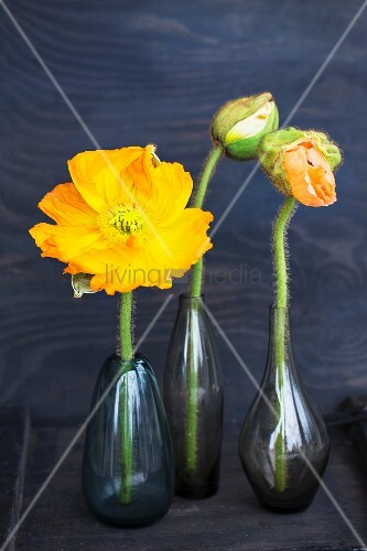 Yellow poppy and poppy buds in various dark glass vases