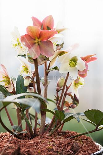 Portrait of flowering hellebore