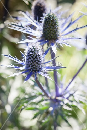Blue Eryngium flowers