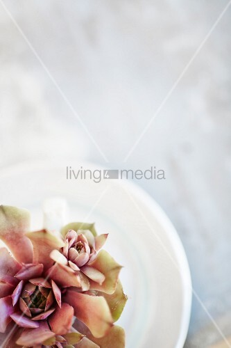 Succulents on white plate
