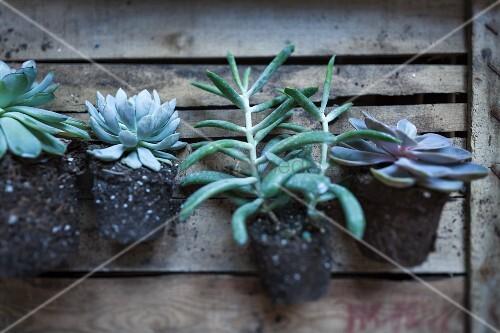 Verschiedene Sukkulenten ohne Topf auf einer alten Holzkiste