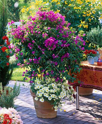 bougainvillea unterpflanzt mit petunia bild kaufen 12146460 living4media. Black Bedroom Furniture Sets. Home Design Ideas