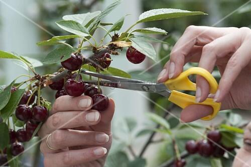 Cherries and sour cherries harvest, with scissors