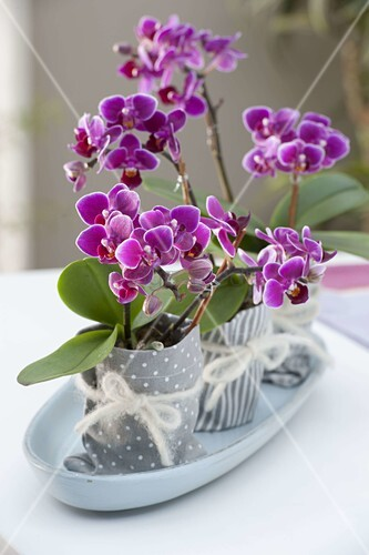 mini orchideen phalaenopsis little lady malayenblumen. Black Bedroom Furniture Sets. Home Design Ideas