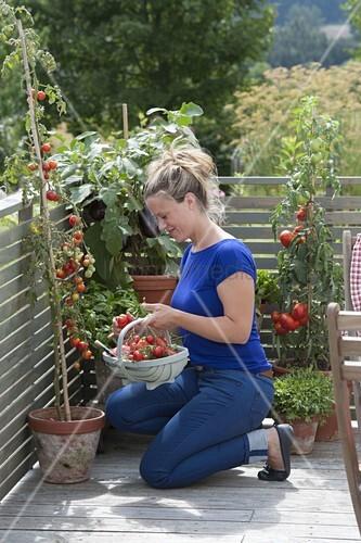 frau erntet tomaten auf dem balkon bild kaufen living4media. Black Bedroom Furniture Sets. Home Design Ideas