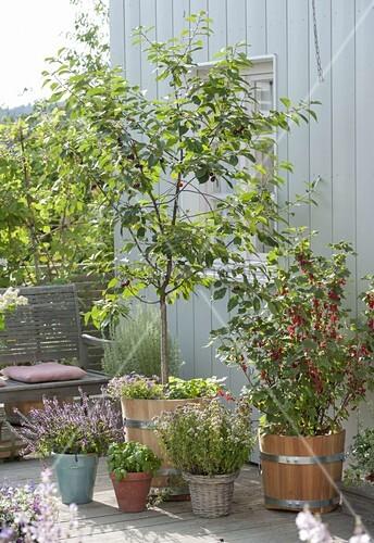 balkon mit obst und kr utern sauerkirsche prunus cerasus bild kaufen living4media. Black Bedroom Furniture Sets. Home Design Ideas