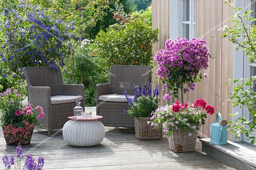 bougainvillea solanum rantonnetii bild kaufen 12199996 living4media. Black Bedroom Furniture Sets. Home Design Ideas