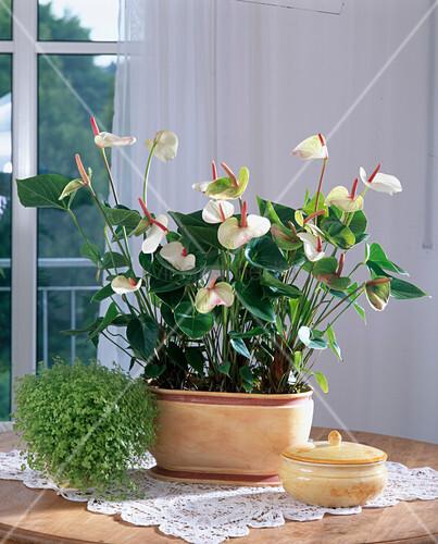 Anthurium 'Champion', Soleirolia