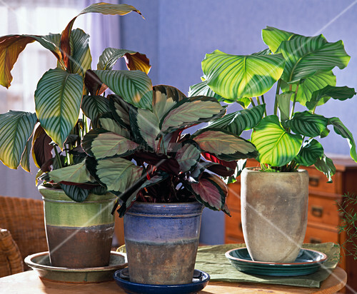 calathea orbifolia picturata und c bild kaufen 12229786 living4media. Black Bedroom Furniture Sets. Home Design Ideas