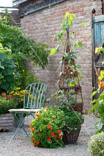 Wicker basket planted with Tropaeolum majus 'Alaska Mix'
