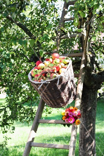 Basket of apples above bunch of zinnias on ladder leaning against apple tree
