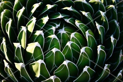 Cactus (close-up)