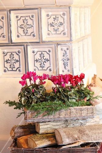 Cyclamen and juniper sprigs on wicker tray