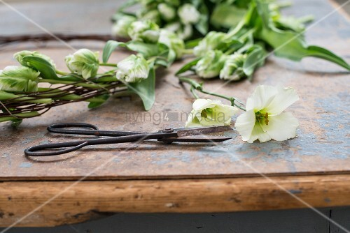 Metallschere liegt auf abegnutztem Tisch mit Blumen