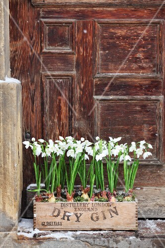 Snowdrops planted in old wooden bottle crate