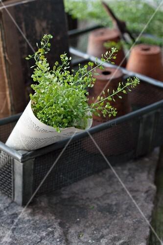 Shepherd's purse in paper cone in vintage wire basket