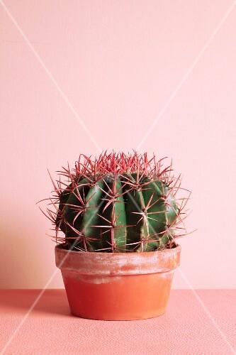 Runder Kaktus im Terracottatopf vor rosafarbener Wand