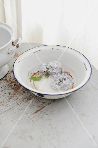 Pale blue hydrangea florets in old enamel bowl with rusty spots