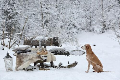 Dog sitting next to old toboggan used as bench in snowy garden