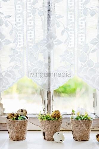 Bunte Wachteleier und Kirschblüten mit Moos in Anzuchttöpfen als Osterdeko auf Fensterbank