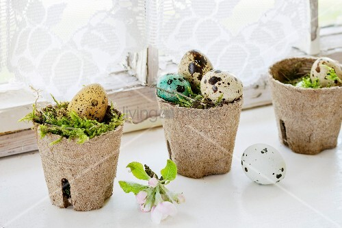 Colorful Easter quail eggs with spring cherry flowers and moss in small garden pots over white windowsill