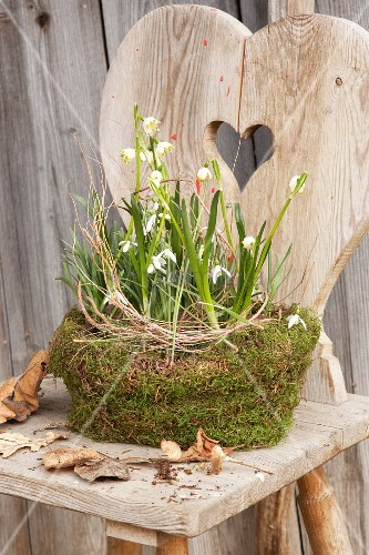 Snowdrops and spring snowflakes in mossy bowl on rustic wooden chair