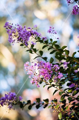 Blüte von der chinesischen Kräuselmyrte (Lagerstroemia indica)