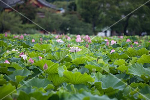 Rosa blühende Lotusblume