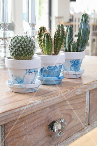 Cacti in white-and-blue painted pots