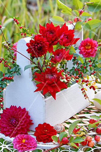 Red dahlias in white-painted wooden bottle carrier