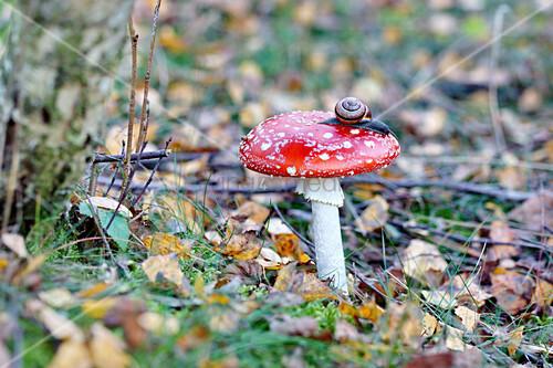 Snail on fly agaric mushroom on forest floor