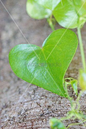 Heart-shaped ivy leaf