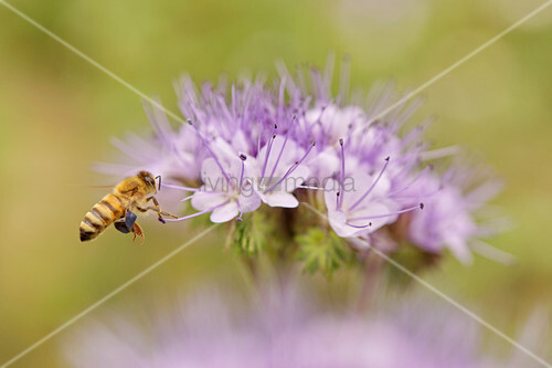 Wild bee on purple tansy