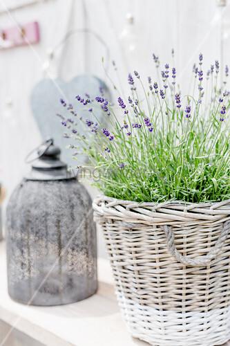 Lavendel im Korbuntertopf und Laterne