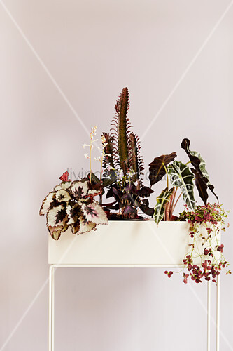 Red-leaved houseplants in plant stand against pink wall