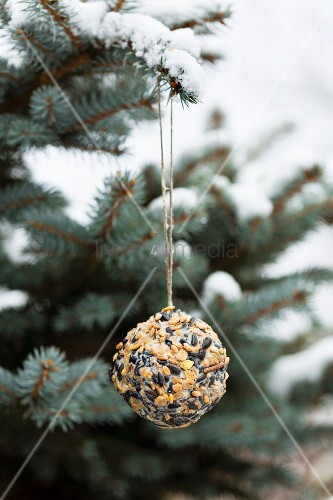 Hand-made bird-cake ball hung from branch of blue spruce