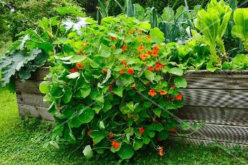 Nasturtiums in a raised flower bed