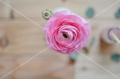 Pink ranunculus in vase (top view)