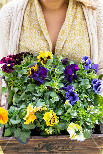 Woman holding wooden crate of pansies