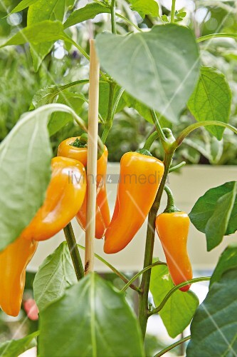 An orange pepper plant on a balcony