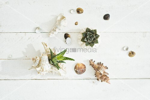 Seashells, some planted with succulents on wooden surface