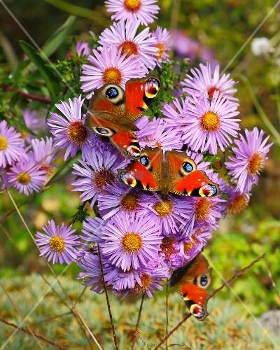 Peacock butterflies on purple asters in garden