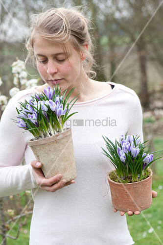Woman with Crocus vernus 'Striped Beauty', in terracotta pots