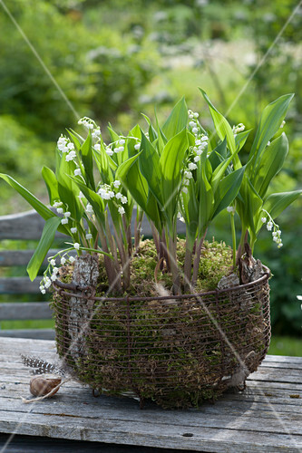 Wire basket planted with Convallaria majalis in moss and bark