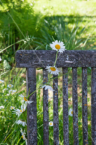 Ox-eye daisy chain hung over backrest of weathered chair in garden