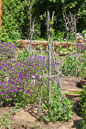 DIY obelisks made from branches supporting pea plants in cottage garden