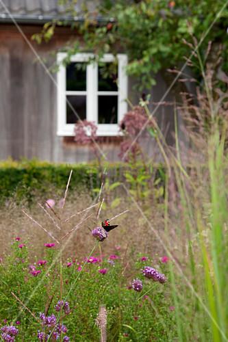 Brazilian vervain (Verbena bonariensis) in garden with house in background