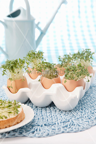 Cress growing in egg shells