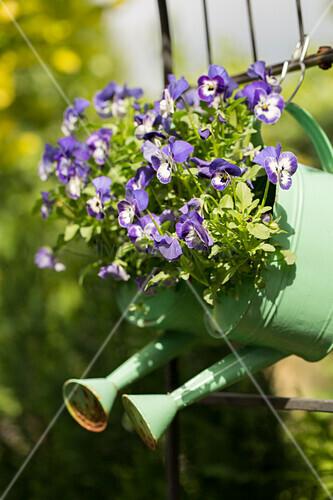 Gießkannen bepflanzt mit Hornveilchen